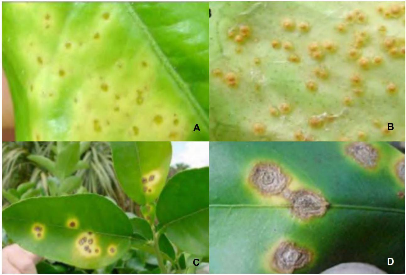 Lesiones en las hojas de cítricos causadas por el cancro de los cítricos. A: Lesiones jóvenes en el haz, B: Lesiones jóvenes en el envés, C: Manchas que se agrupan en un solo halo cloróticas, D: Lesiones en forma de cráteres.