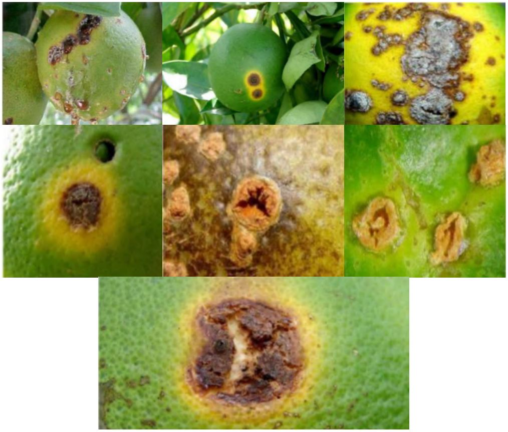 "Lesiones causadas por cancro de los cítricos en frutos de naranjo. Nota: Reproducido de [o Adaptado de] ""Cancro de los cítricos Xanthomonas citri Ficha Técnica Nº 33"", SENASICA, 2019"